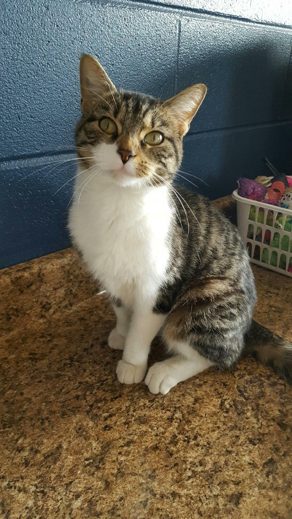 Adopt Julita a Tiger Striped Domestic Shorthair (short coat) cat in Wilmington