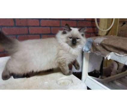 Ragdoll Kitten TICA