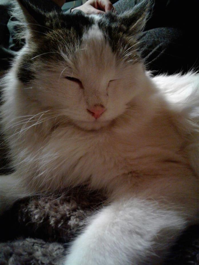 Adopt Kideee a White (Mostly) Turkish Van (long coat) cat in Lake Arrowhead