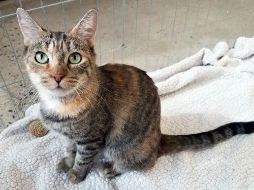 Adopt Weaver a Brown Tabby Domestic Shorthair / Mixed (short coat) cat in