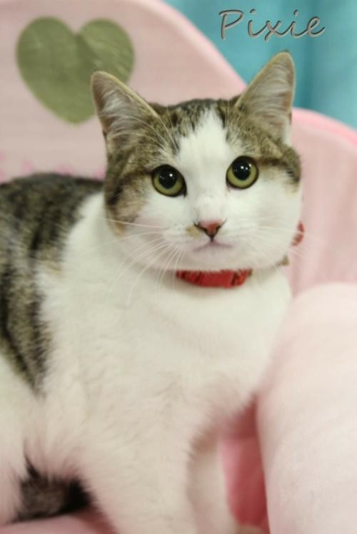 Adopt Pixie Female a White (Mostly) Domestic Shorthair / Mixed (short coat) cat