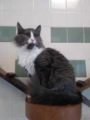 Adopt Dora a Gray or Blue Domestic Mediumhair / Domestic Shorthair / Mixed cat