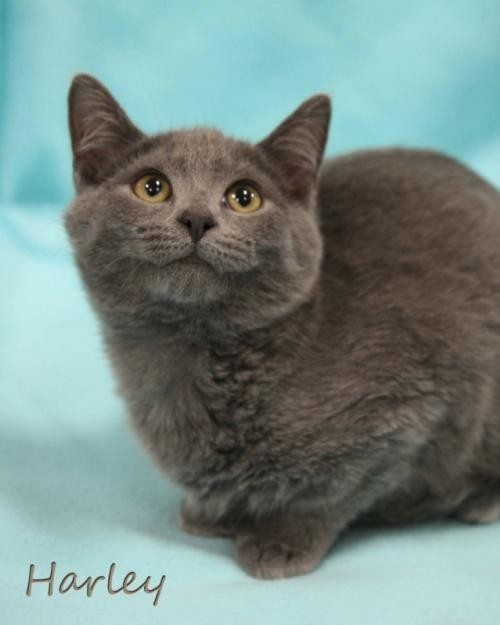 Adopt Harley male Kitten a Gray or Blue Russian Blue / Mixed (short coat) cat in