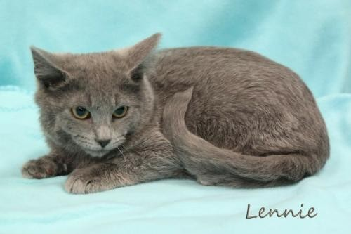 Adopt Lennie Male Kitten a Gray or Blue Russian Blue / Mixed (short coat) cat in
