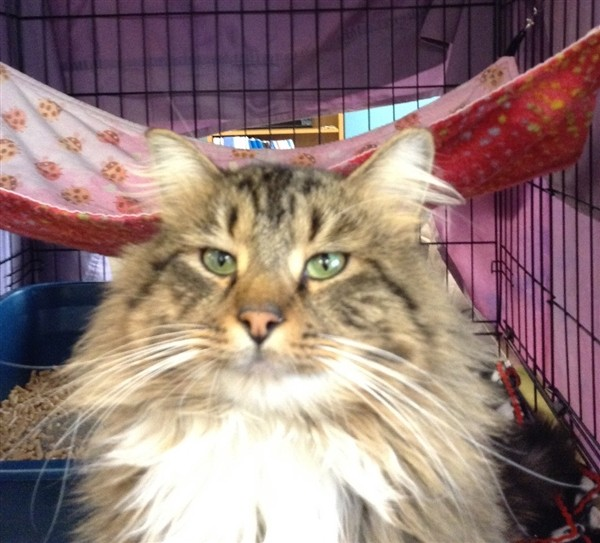 Adopt Joel a Domestic Longhair / Mixed cat in Concord, NH (20697933)