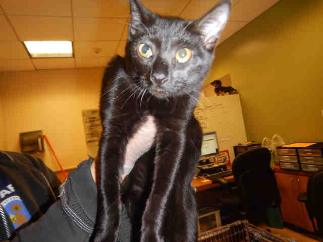 Adopt YOLANDA a All Black Domestic Shorthair / Mixed (short coat) cat in San