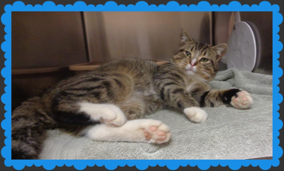 Adopt CLIVE a Domestic Short Hair