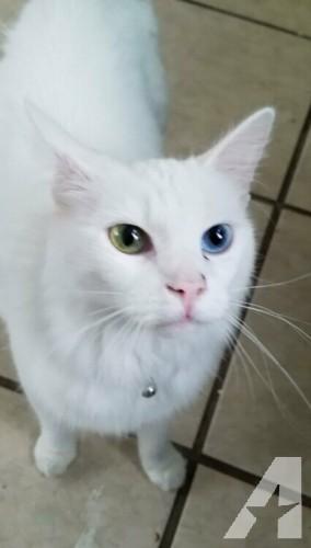 Hypoallergenic, gorgeous, rare odd eye Turkish angora