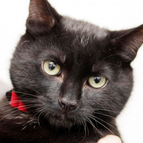Adopt Alex a All Black Domestic Shorthair cat in Middletown, RI (20716457)