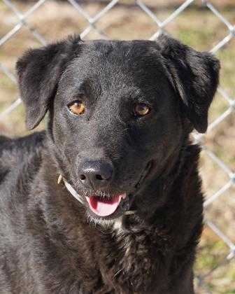 Adopt Maxine a Black Retriever (Unknown Type) / Mixed dog in Toccoa