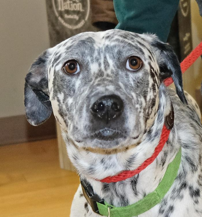 Adopt Noble a White - with Black Dalmatian / Mixed dog in Spokane, WA (20576855)