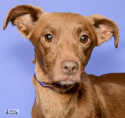 Adopt Velma a Red/Golden/Orange/Chestnut - with Black Terrier (Unknown Type
