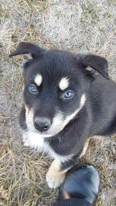 Adopt Orbit a Black Husky / Retriever (Unknown Type) / Mixed dog in Fort