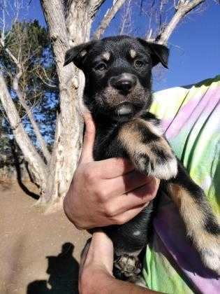 Adopt Cosmo a Black Husky / Retriever (Unknown Type) / Mixed dog in Fort
