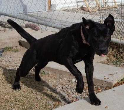 Adopt Astra a Black Labrador Retriever / Mixed dog in Grand Junction