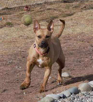 Adopt Lydia a Tan/Yellow/Fawn American Pit Bull Terrier / Mixed dog in Grand