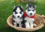Charming female and male SiberianHusky puppies. back