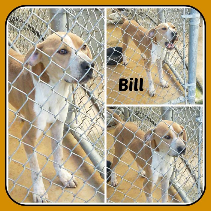 Adopt BILL a Tan/Yellow/Fawn - with White Treeing Walker Coonhound / Mixed dog