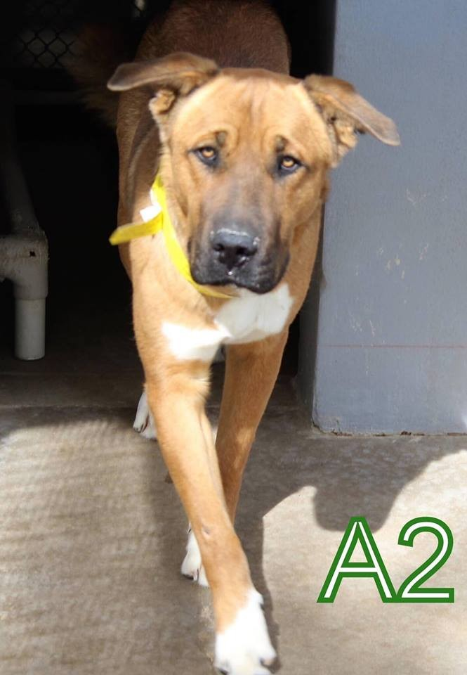 Adopt Scooby Doo a Brown/Chocolate - with White Great Dane / Shepherd (Unknown