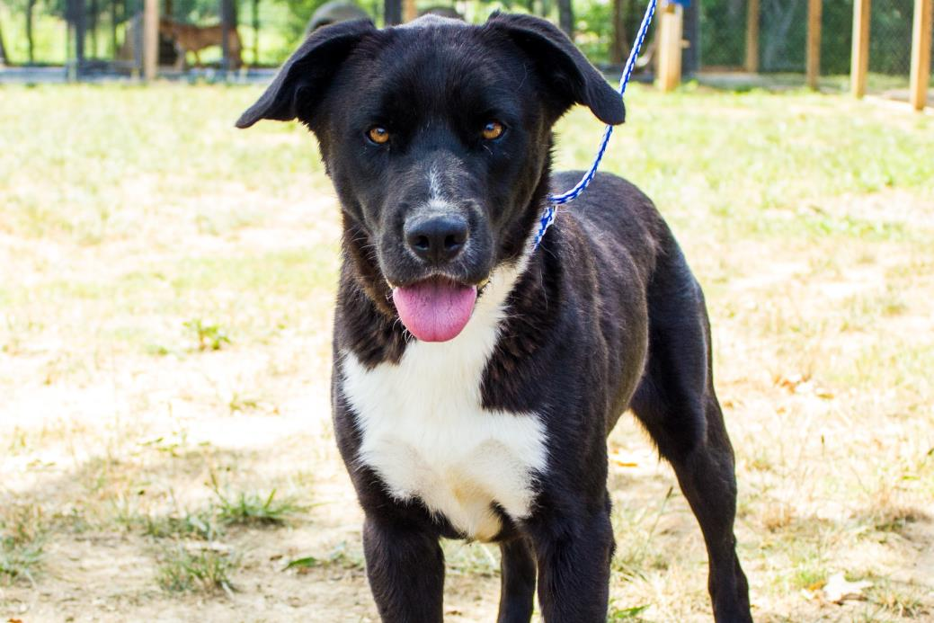 Adopt Happy a Black - with White Labrador Retriever / Mixed dog in Jasper