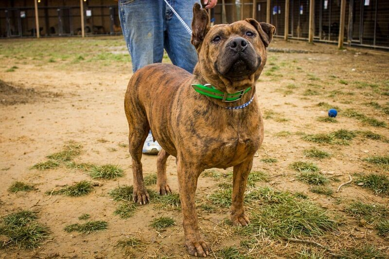 Adopt Ol' Moma a Brindle - with White Pit Bull Terrier / Mixed dog in Jasper