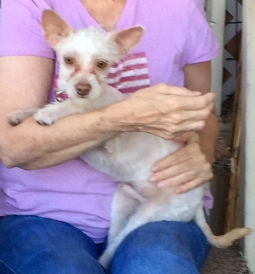 Adopt Jedi a Norwich Terrier