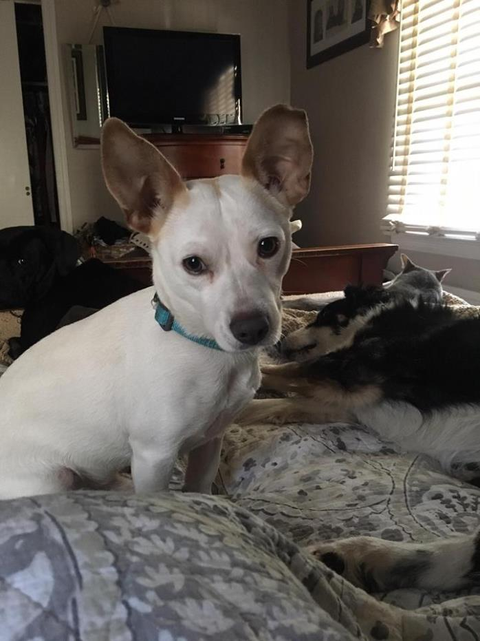 Adopt Buddy a White Jack Russell Terrier / Mixed dog in Valley Stream