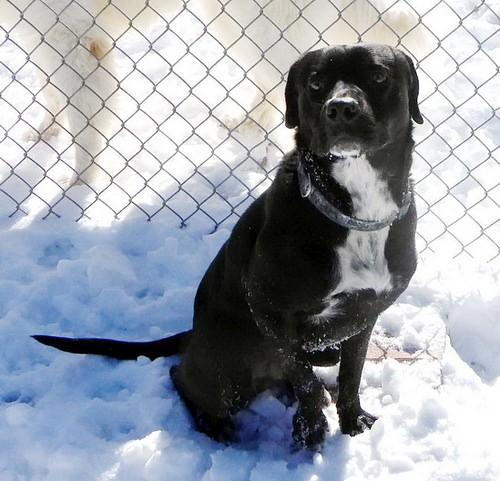 Adopt Trapper a Black Labrador Retriever / Mixed dog in Annapolis, MD (20493443)