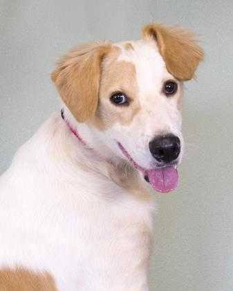 Adopt Gunner a White Golden Retriever / Hound (Unknown Type) / Mixed dog in