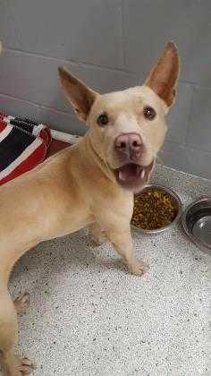 Adopt Sol a Tan/Yellow/Fawn Mixed Breed (Medium) / Mixed dog in Jacksonville