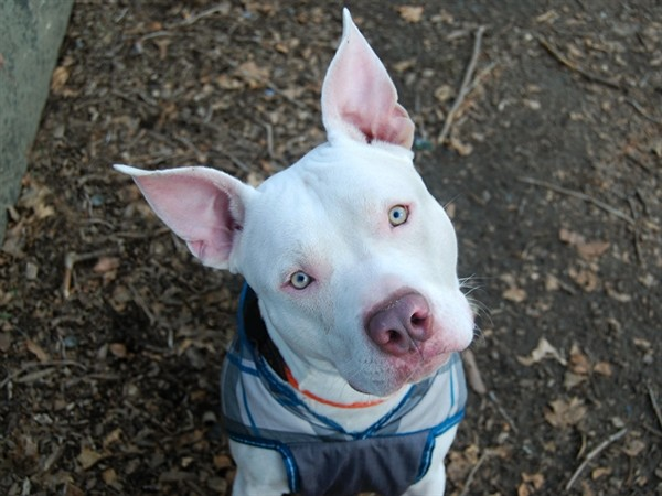 Adopt Fifty a Mixed Breed (Large) / Mixed dog in New York, NY (20546074)
