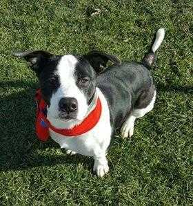 Adopt Marty a Black Corgi / American Pit Bull Terrier / Mixed dog in Greenville