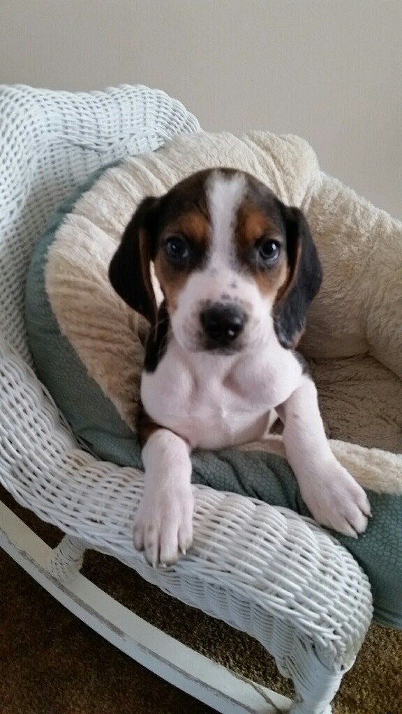 Adopt Teton a Tricolor (Tan/Brown & Black & White) Beagle / Mixed dog in