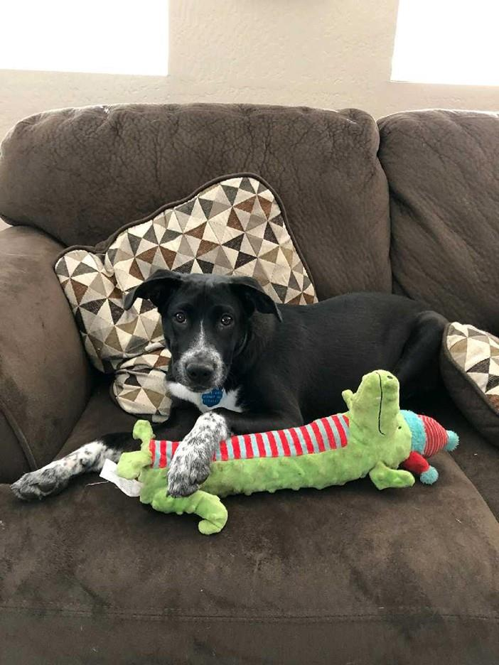 Adopt SADIE a Black - with White Blue Heeler / Mixed dog in Albuquerque
