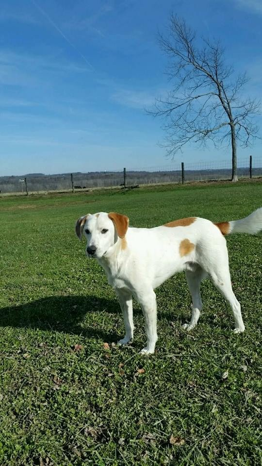 Adopt Charlie a White - with Brown or Chocolate Great Pyrenees / Hound (Unknown