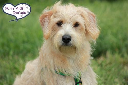 Adopt Quinton a Tan/Yellow/Fawn Miniature Schnauzer / Mixed dog in Lee's Summit