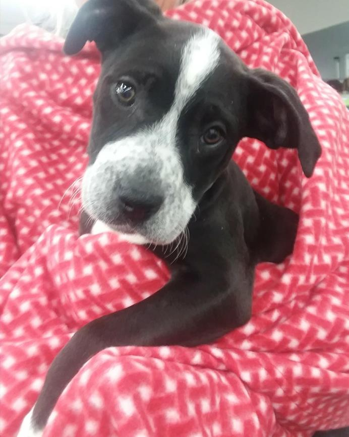 Adopt Minnie a Black - with White Great Dane / Mixed dog in Plainfield