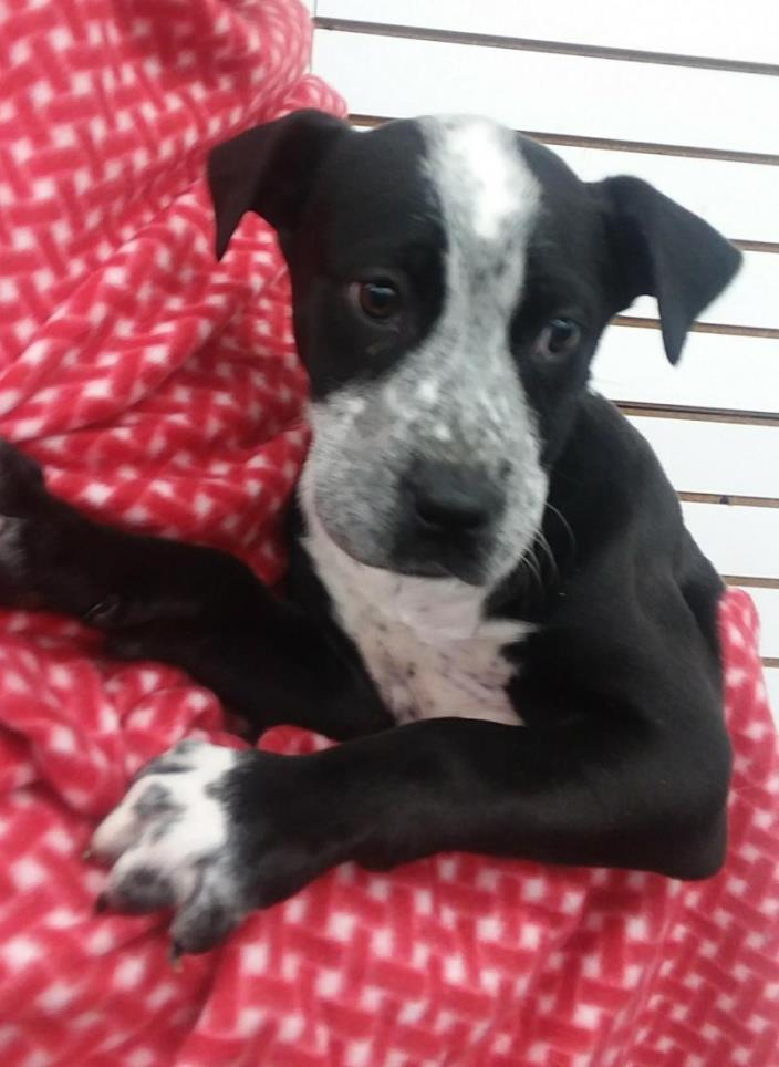 Adopt Moana a Black - with White Great Dane / Mixed dog in Plainfield