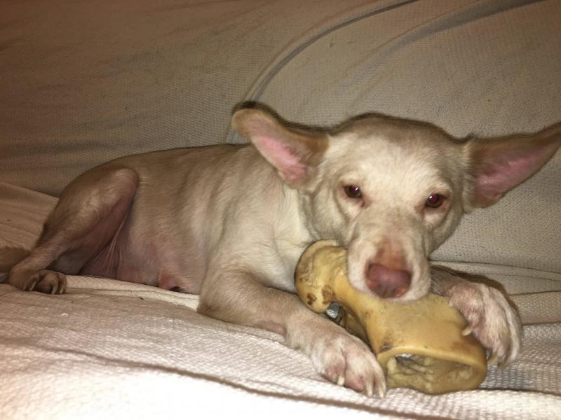 Adopt Magnolia a Tan/Yellow/Fawn Akita / Mixed dog in Plainfield, IL (20582307)