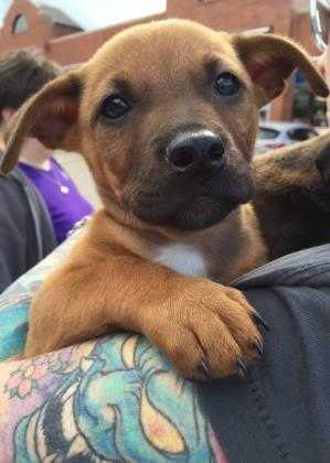 Adopt Bennie MM a Brown/Chocolate Terrier (Unknown Type, Small) / American Pit