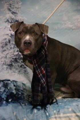 Adopt Drax a Gray/Blue/Silver/Salt & Pepper American Pit Bull Terrier / Mixed