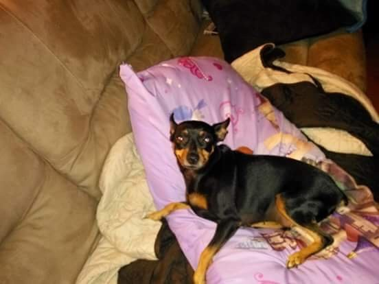 Adopt Sophia a Black - with Tan, Yellow or Fawn Miniature Pinscher / Mixed dog