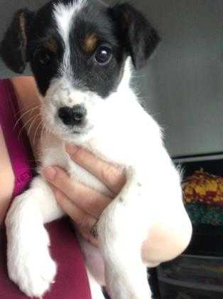 Adopt Shavano a White Terrier (Unknown Type, Small) / Mixed dog in Olathe