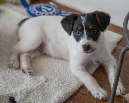 Adopt Bross a White Terrier (Unknown Type, Small) / Mixed dog in Olathe