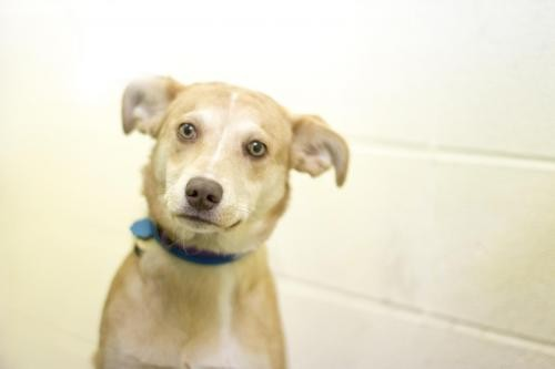 Adopt Hunny a Australian Shepherd / Mixed dog in Mountain Home, AR (20546754)
