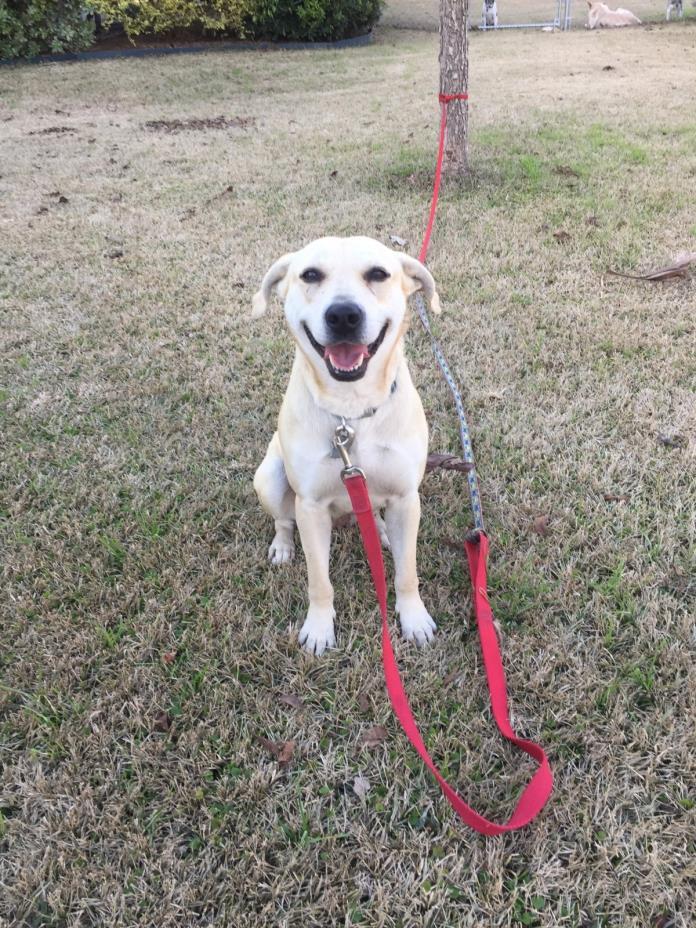 Adopt Peanut a White Labrador Retriever / Mixed dog in Seguin, TX (20522699)