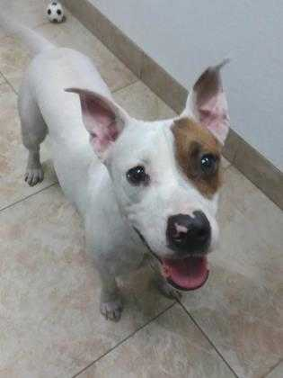 Adopt Dottie a White Terrier (Unknown Type, Small) / Mixed dog in Galveston