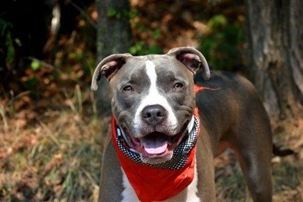 Adopt Blue a Mixed Breed (Large) / Mixed dog in Staten Island, NY (20548235)