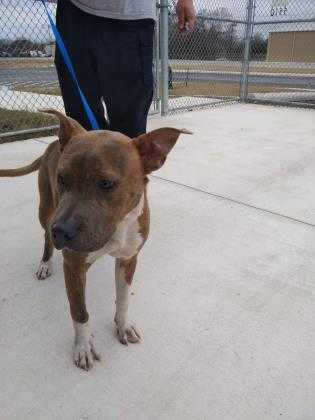 Adopt Archer a Brindle American Pit Bull Terrier / Mixed dog in Kirby