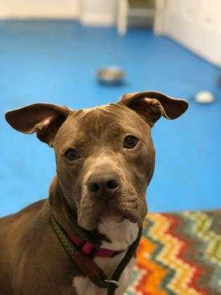 Adopt Macy a Gray/Blue/Silver/Salt & Pepper American Pit Bull Terrier / Mixed